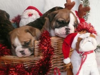 Christmas boxer puppies